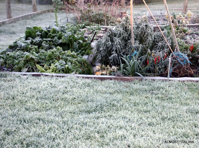 frost covered patch of turnips and lettuce.