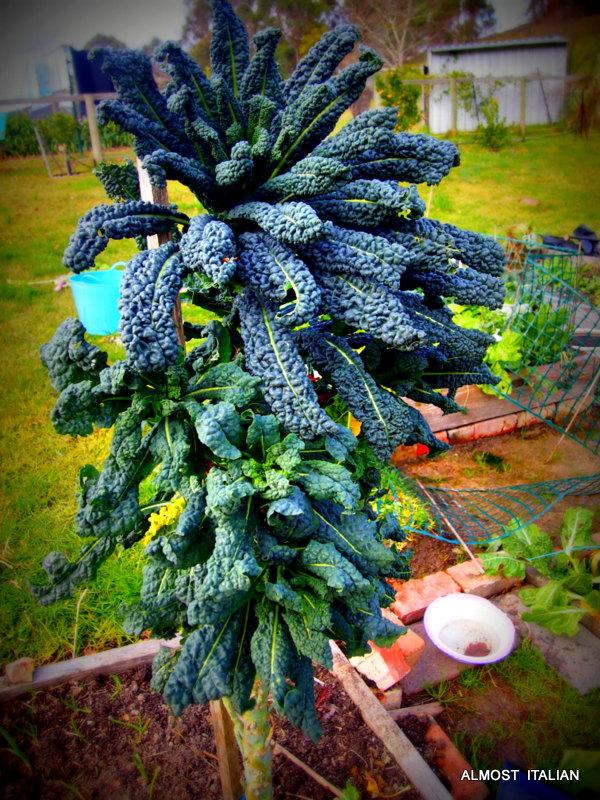 cavolo nero or tuscan kale.