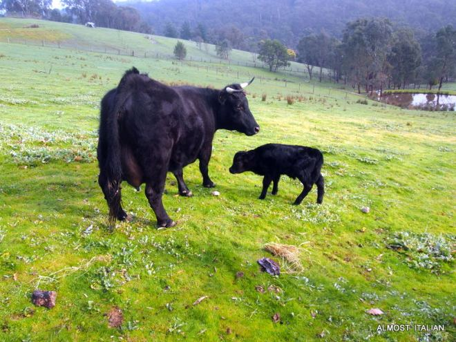 Brand New calf, Dougie the Dexter and his Mother Delilah.