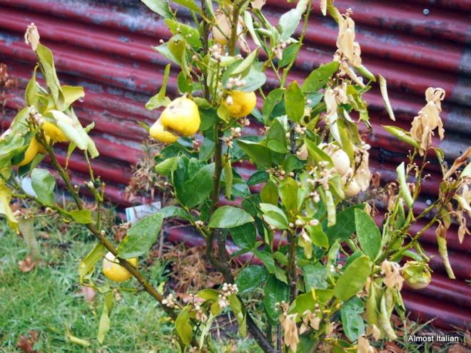 frost bitten citrus