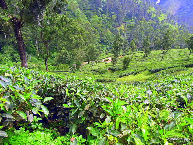 The Bountiful tea plantations of Munnar, Kerala,