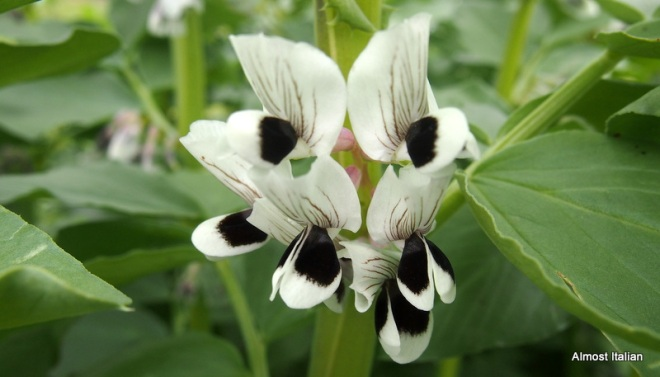 fave/ broadbean flowers