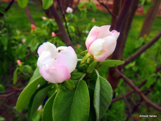 delicate quince blossom