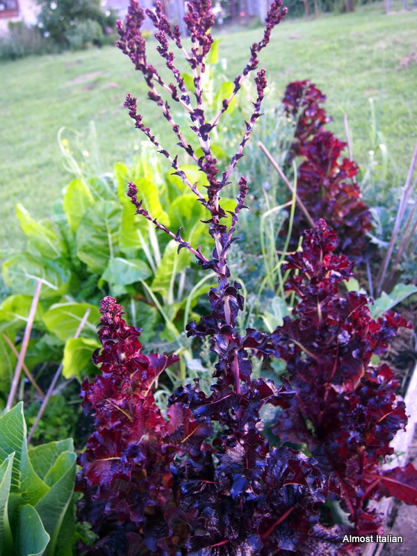 My favourite red lettuce is saved each year. Anyone know its name?