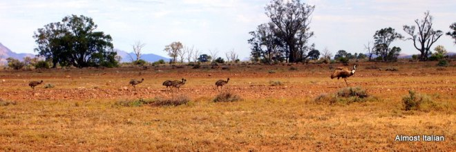 Baby emus in the Flinders Ranges