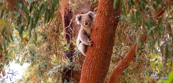 This Koala woke up for a few minutes.