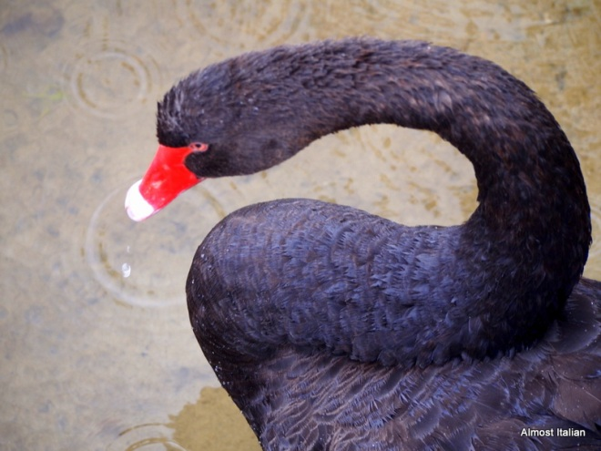 Black Swan of Paynesville