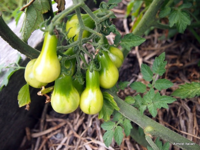 mini yellow pear tomato.