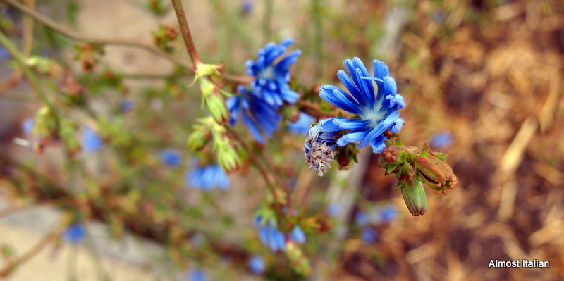 radicchio flower- bee attractor.