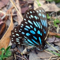 Butterfly, Symbol of the Deaf