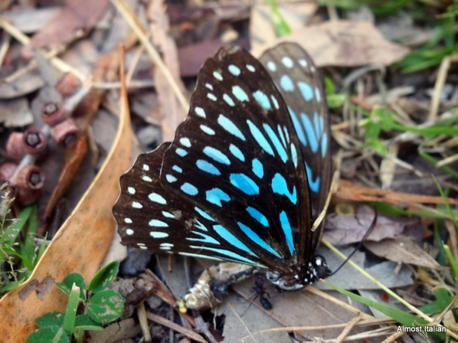 Magnetic Island Butterfly