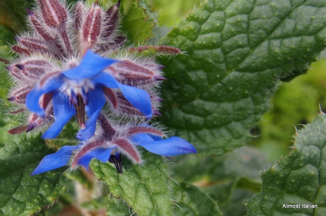 Borage Blue - Spring is around teh corner.