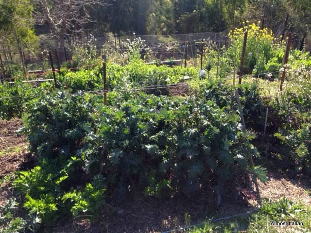 Di's self sown winter kale. Photo by Di Gilkes.