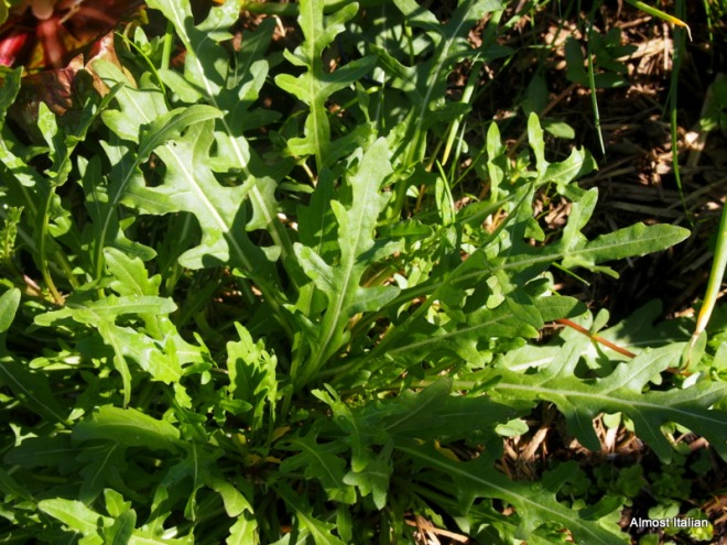 Wild rocket pops up anywhere in the garden: enough for us and the chooks.