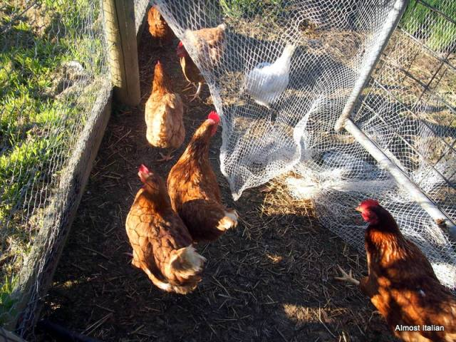 The girls are excited when the big gates are opened. Springtime meeans more eggs.