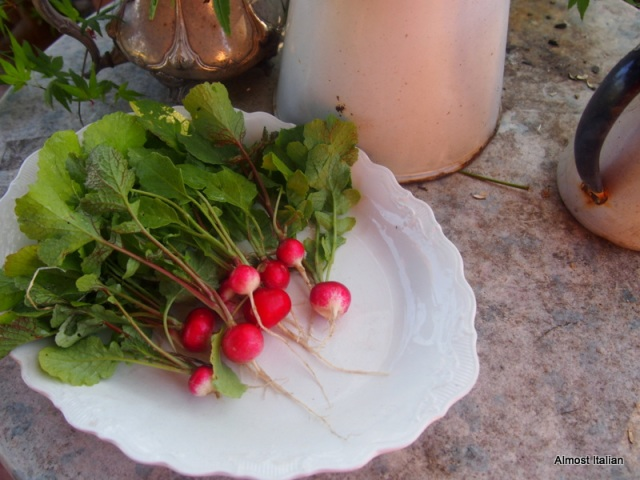 Early moning radish havst