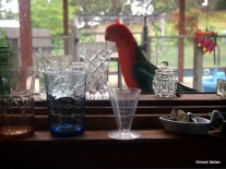 King Parrot at my kitchen window.