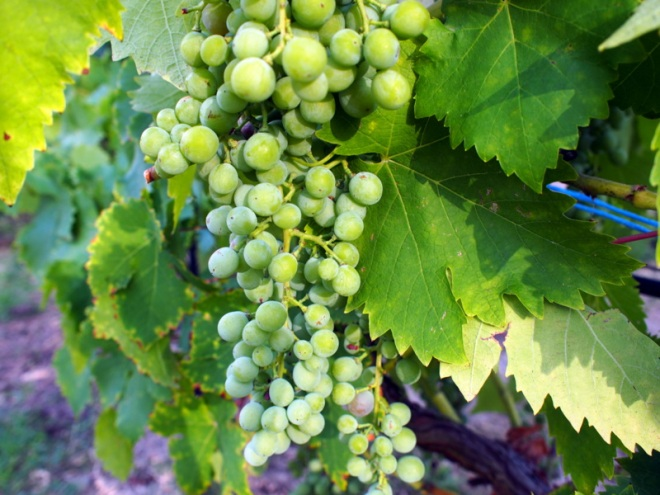 Table grapes ripening.