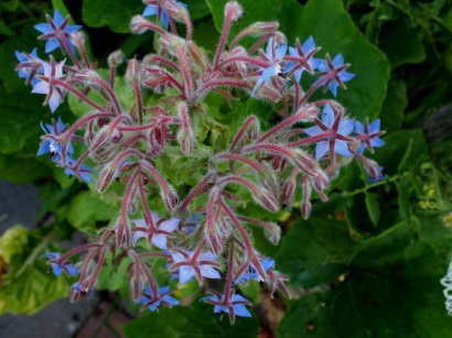 borage blue