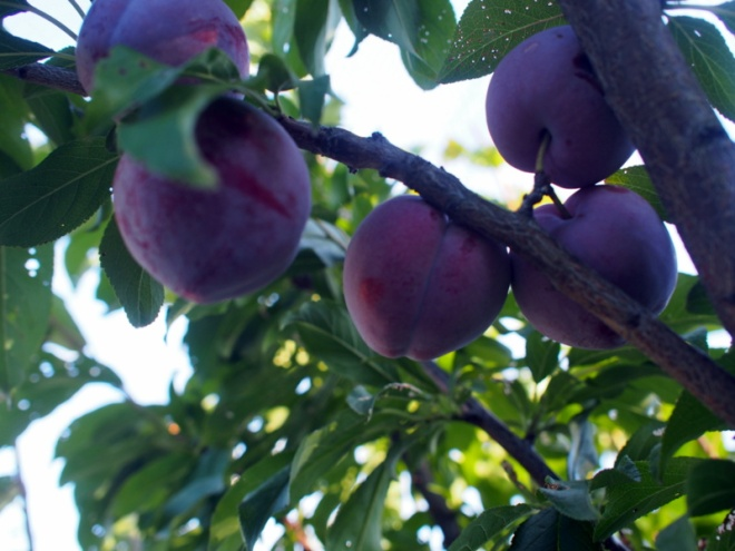 Satsuma plums