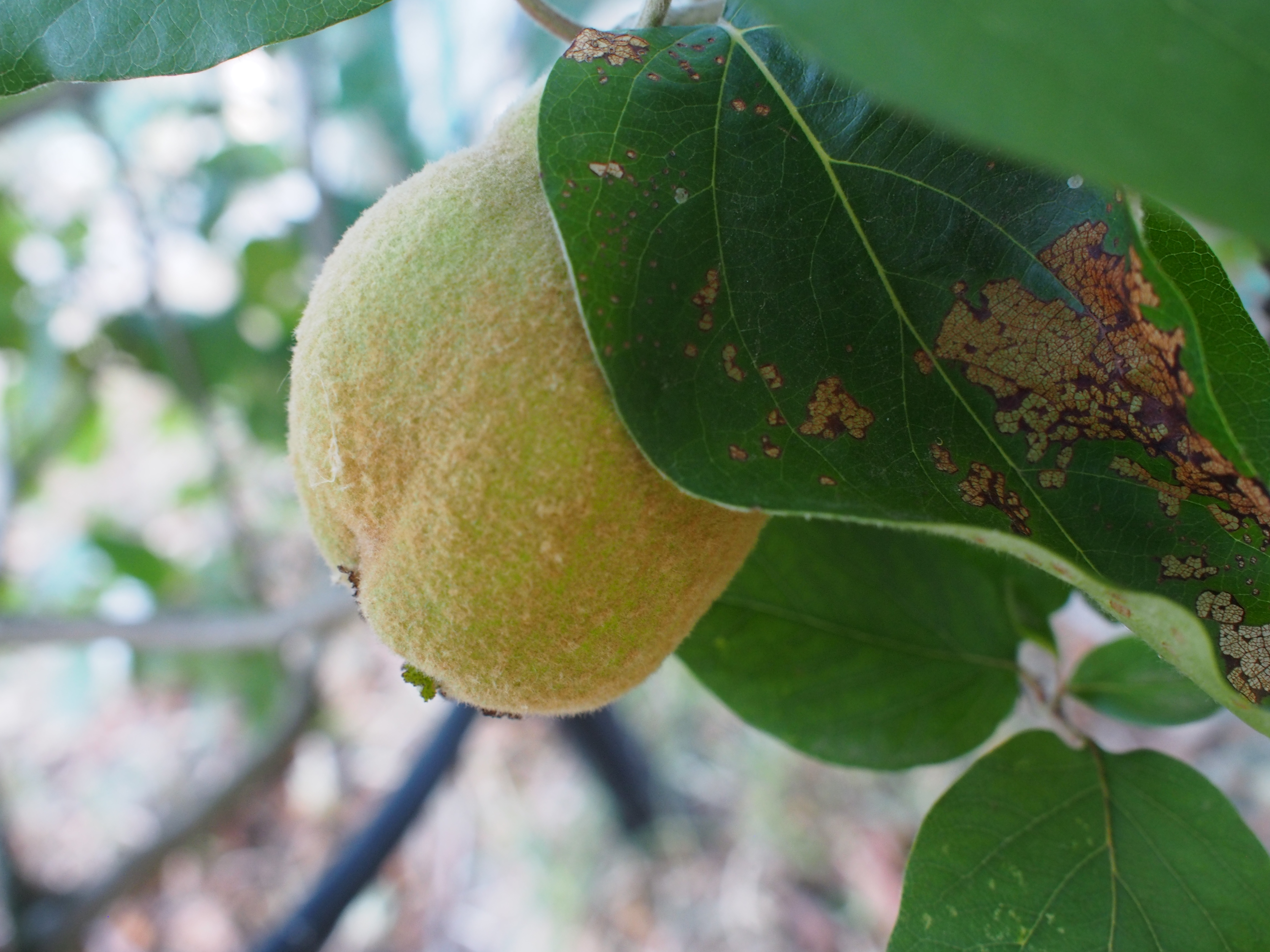 Quince in hiding