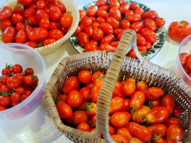 Sorting tomatoes