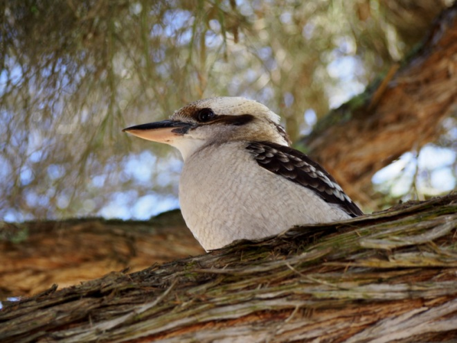 Kookaburras by the Bay