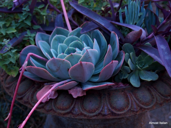 A pot of succulents pciks up the rosy hues of dawn