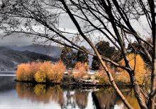 Wild poplars, Central Otago