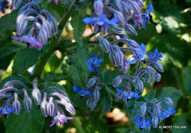 Borage in Flower