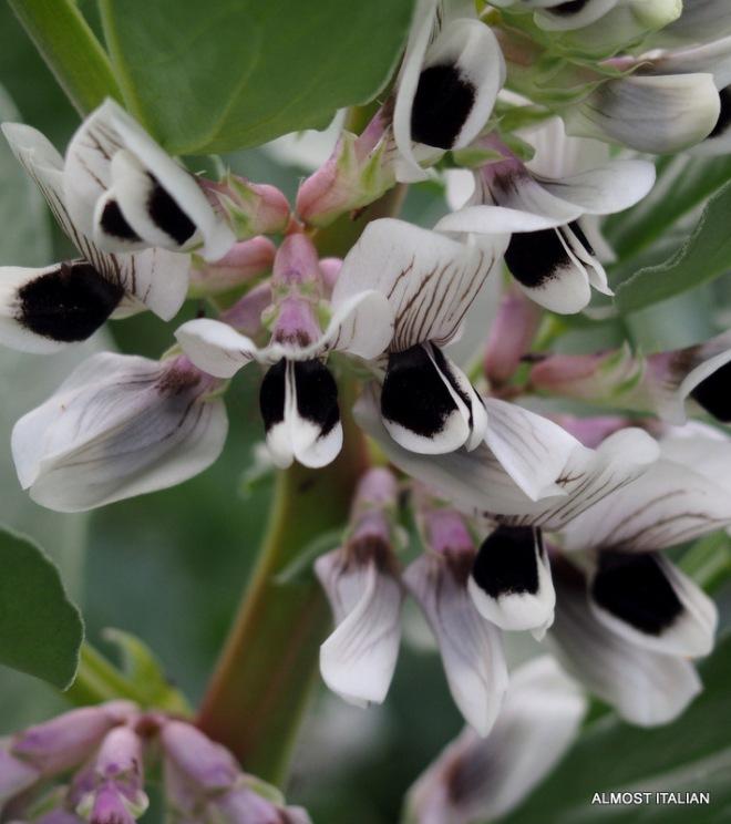 Fava( broadbeans) flowering late in my garden.