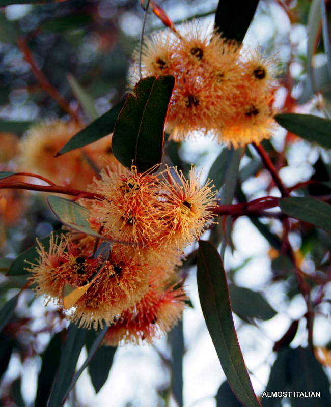Flowering gum in bloom. Jeparit Camping Ground.