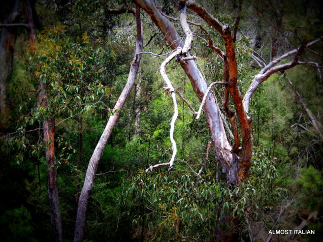 Our Australian bush, gum trees, Gariwerd