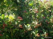 Berries. Kitchen garden, Dunkeld Royal Mail Hotel.