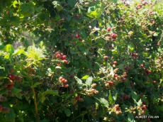 Berries. Kitchen garden, Dunkeld Royal Mail Hotel.