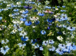Nigella, or love in the mist, used for the seed.