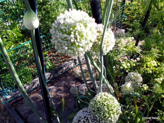 Leeks and celery going to seed. The bees love them: I love their dying beauty.