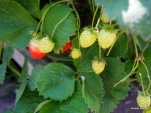 new crop of strawberries.