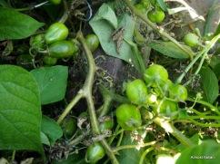 new/late tomato plants