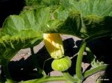 new pumpkins- will they have time to mature?