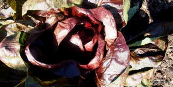 The heart of darkness. Radicchio hearts beginning to form.