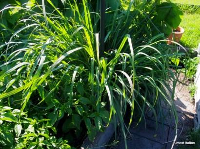 Huge lemongrass plant.