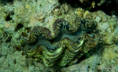 Giant clam, Pemuteran