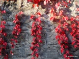 simple stone wall transformed by autumn creeper.