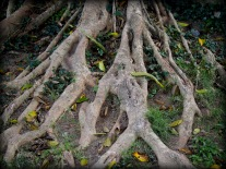 Roots of ancient tree.