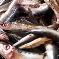 Little Fish Swimming Under Oil. Preserving Fresh Anchovies.