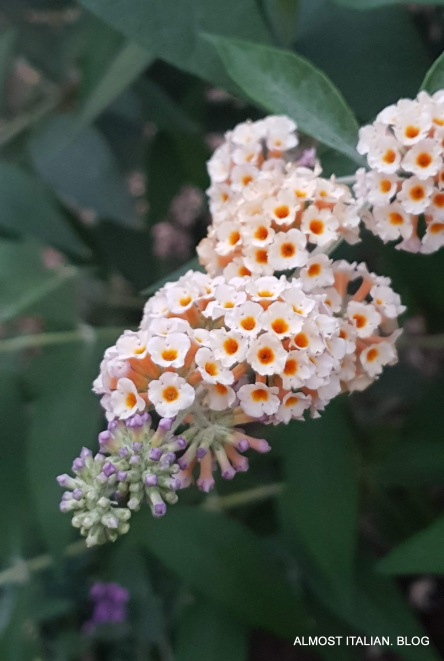 Buddlea in late bloom