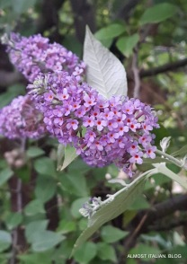 Buddlea, bee attracting flowers.